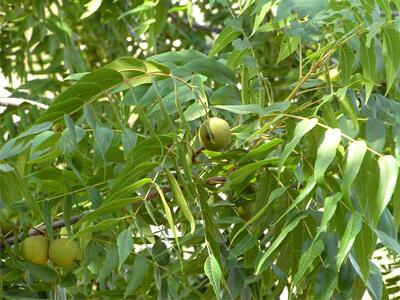 Экстракты листьев серого дерева (серый орех)