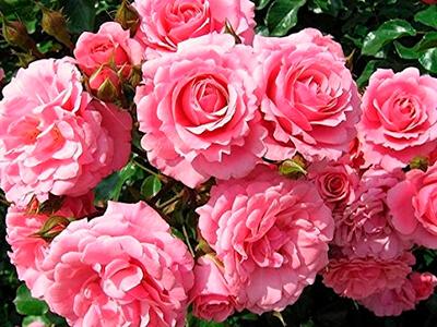 Экстракт болгарской розы